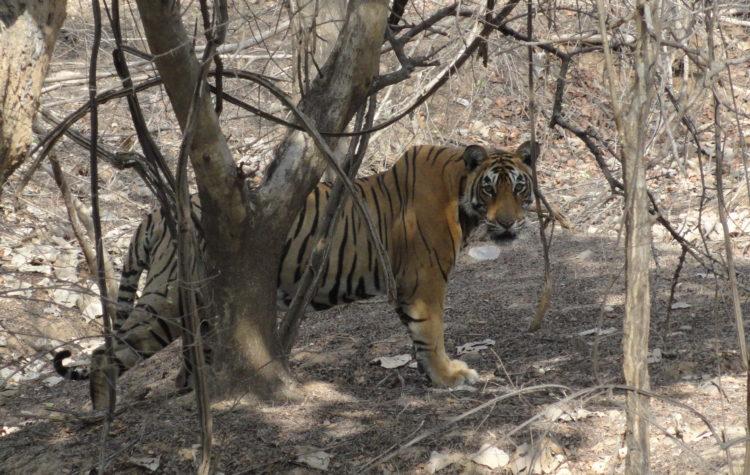 Tiger_at_Ranthambore_National_Park_2