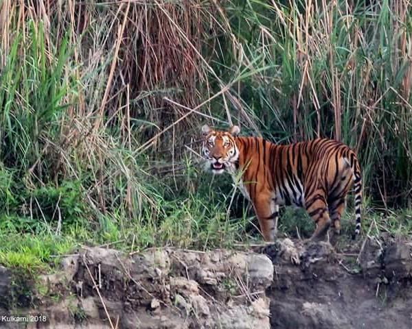 Assam, Wildlife in Assam, Awesome Assam, Assam Tourism, Assam Culture, Assam, Tiger Spotted in Assam,  Cuisine of Assam, Assamese Culture, Tourism in Assam, Where to go in Assam, What to do in Assam, What to eat in Assam